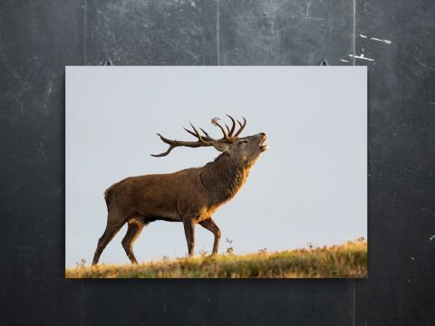 The Bellow - Red Deer Stag Premium Canvas Print